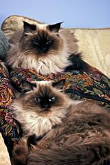 Persian Himalayan Cats