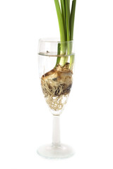 Flower bulb in a glass, isolated on white