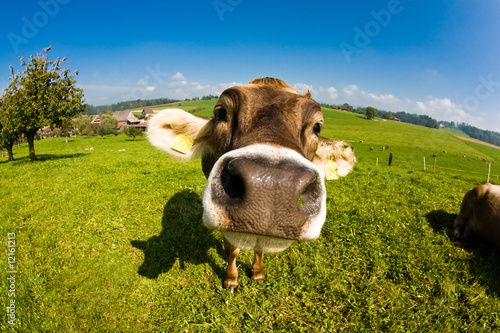 Aluminium cow, funny fisheye nose close up