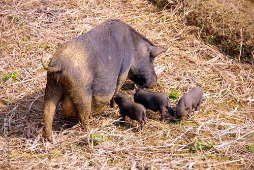A pot bellied pig with three young ones