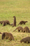 Mongoose - small, cat-like carnivores, snake`s hunter. poster