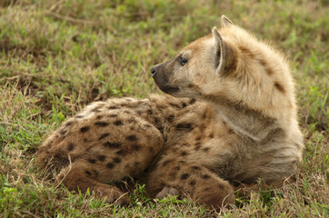 Spotted (Laughing ) Hyena, is a carnivorous mammal.