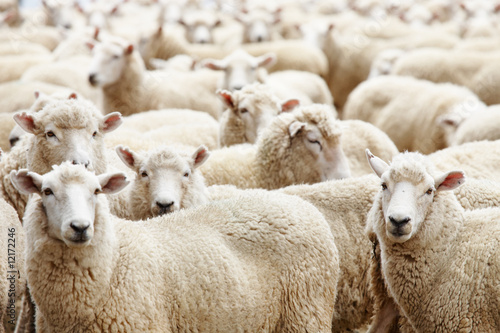 Canvas Schapen Herd of sheep