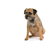 English border terrier