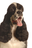 american cocker spaniel with tongue out panting poster