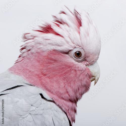 Galah bird - Eolophus roseicapilla (19 months) - 12190028