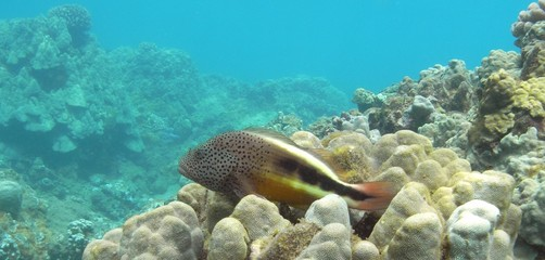 Spotted Hawkfish, Honolua Bay, Maui
