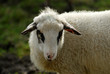 hausschaf, Domestic sheep, Ovis orientalis aries
