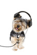 yorkie headphones