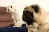 Pug and Maltese poster