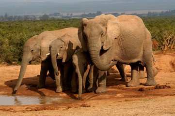 Group of elephants at a watering hole