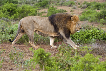A large Male Lion walks the boundary of his territory