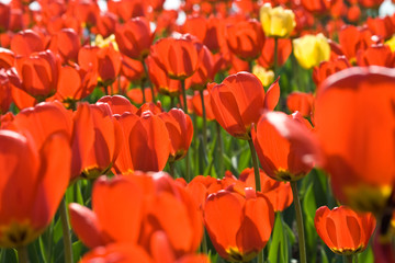 Huge field of red tulips blossoming in spring