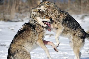 Wölfe Kämpfe