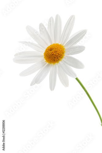 Foto op Canvas Madeliefjes Daisy on white background