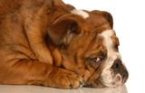 adorable english bulldog with guilty expression