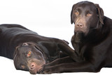 Two Chocolate Labradors Lying Down and Cuddling Together poster
