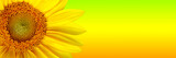Fototapety Sunflower background