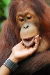 Portrait of Orang Utan monkey in the zoo