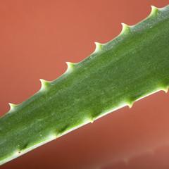 green aloe vera leaf