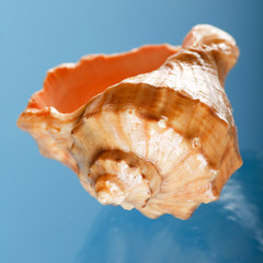 shell on the blue background