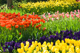 Fototapety Tulips, hyacinths and daffodils in spring