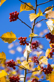 The red Mountain ash,the yellow leafs and the blue sky