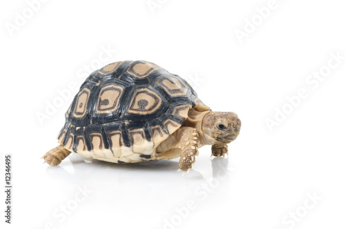 In de dag Luipaard Leopard Tortoise