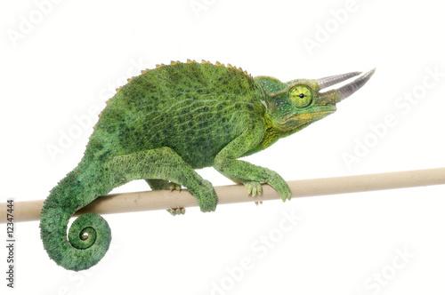 Staande foto Kameleon Jackson Chamelean