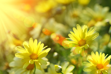 Closeup of yellow daisies with warm rays