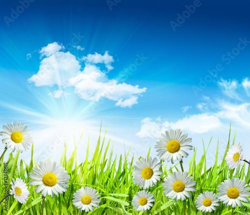 Leinwandbild Motiv Daisies and grass with bright blue sky
