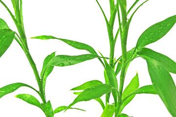 bambou porte-bonheur chinois