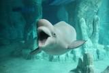 Fototapete Beluga - Cetacean - Meeressäuger