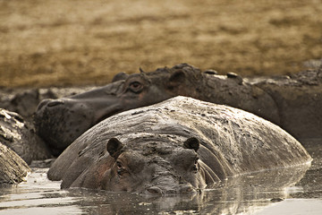 fat, muddy hippo
