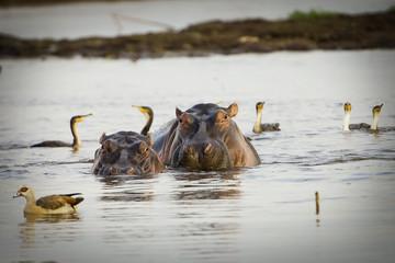 two wild hippos