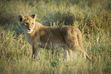 wild lion cub