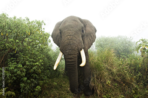 Wild African Elephant in misty jungle