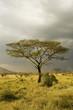 African Tree Yellow Bark Acacia