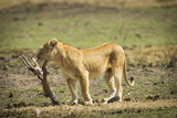Lion eating gazelle kill in Serengeti