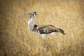 Kori Bustard African Bird