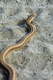 African Brown House Snake