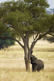 African Elephant shaking a tree