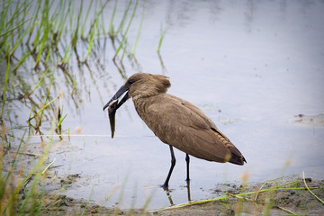 African Bird Hamerkop eating a fish