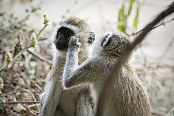 African Monkeys grooming