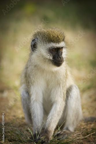 Wild African Vervet Monkey