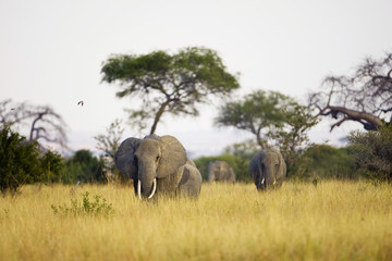 Elephant herd walking towards camera