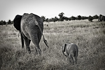 Mother and Baby Elephants in Africa