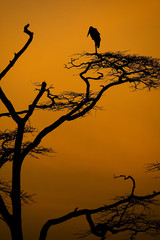 African Stork at Sunset