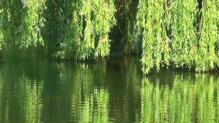 Willows on the water