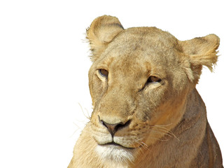 Pensive lioness isolated on white background